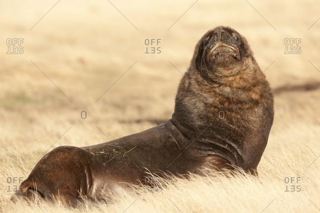 Portrait of sea lion lying on the field on Falkland islands