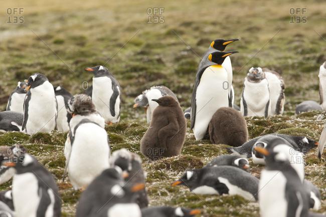 Penguins gathering together on the field, Falkland islands