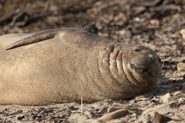 Portrait of elephant seal lying with smile on Falkland islands