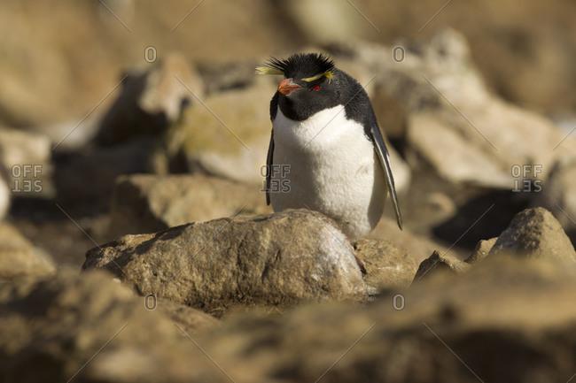 Rockhopper penguin sitting on rock on Falkland islands