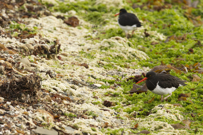 Megellanic oystercatchers walking in the field