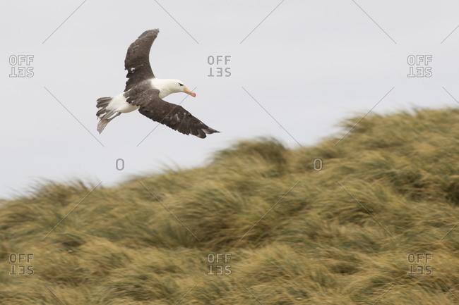 Albatross in flight above field on Falkland islands