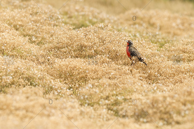 Long-tailed meadowlark perching on the field on Falkland islands
