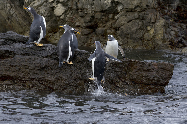 Group of penguins coming out of water