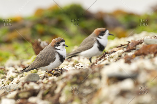 Two-Banded Plovers walking on ground