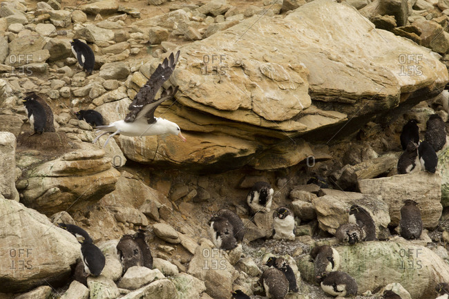 Albatross in flight above penguins sitting on rock