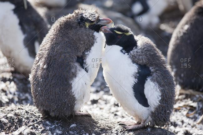 Rockhopper penguins grooming on Falkland islands