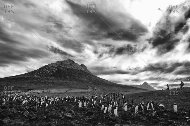 Colony of gentoo penguins gathering at foothill on Falkland islands