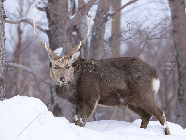 Ezo deer licking his lips while standing in snow covered forest in Japan
