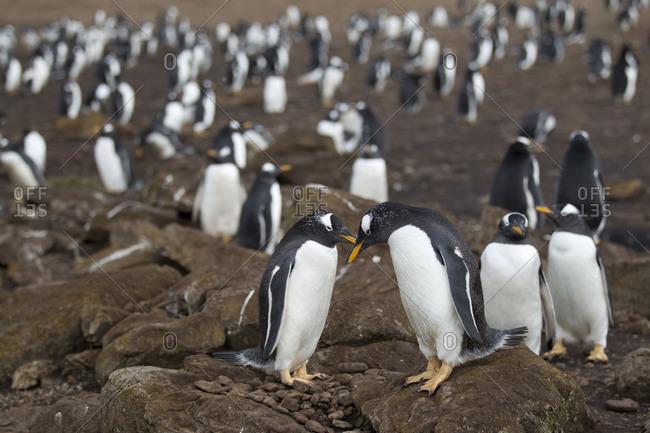 Gentoo penguins grooming on Jason Island