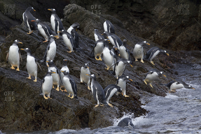 Colony of penguins coming out of water