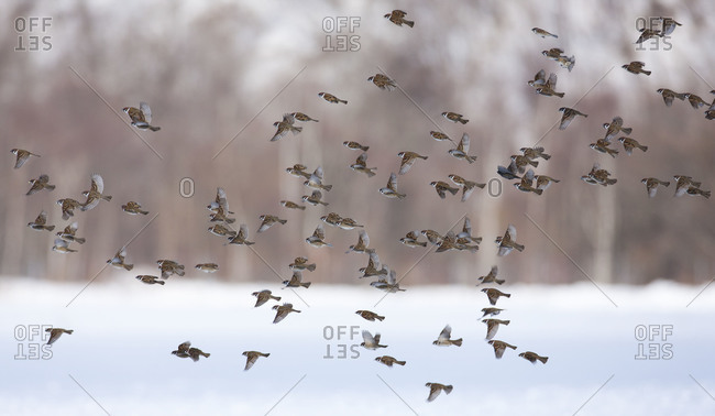 rrows flying over frozen lake's surface in Japan