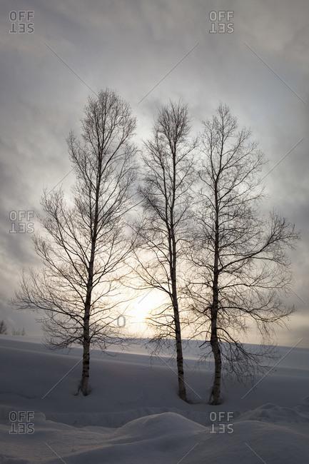 Three bare trees growing in grand snow in Biei, Japan