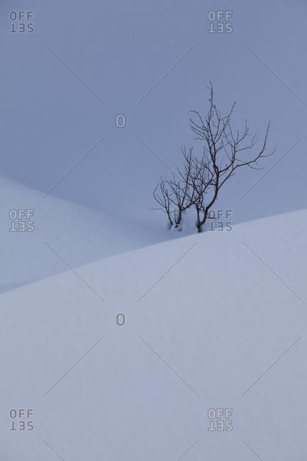 Bare bush buried by grand snow, Hokkaido, Japan