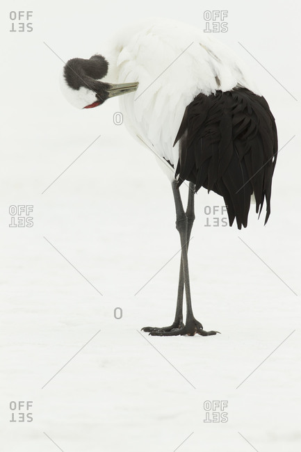 Close up of red-crowned crane preening in snow