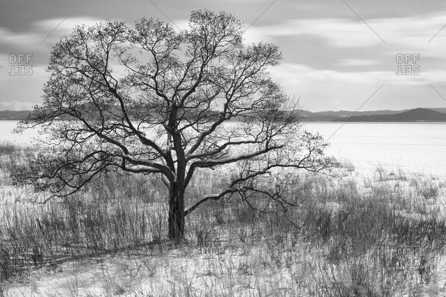 Bare tree and grass on side of Saroma lake in Hokkaido, Japan