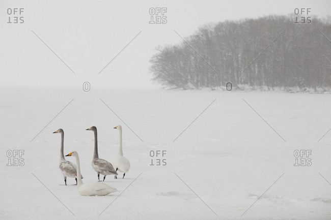 Group of whooper swans sitting on frozen lake's surface and looking away