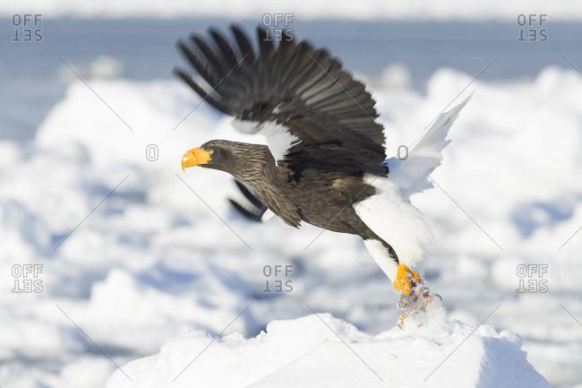 Steller's Sea Eagle hunting in island of Hokkaido, Japan.