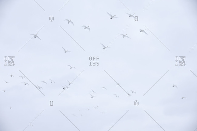 Whooper Swans in Flight in Akan National Park, island of Hokkaido, Japan.