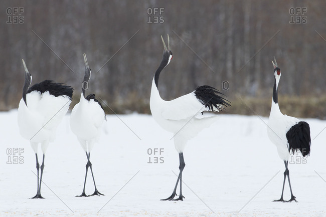 Four honking red-crowned cranes standing in snow, in Hokkaido, Japan.