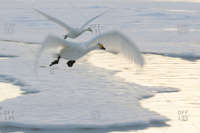 Whooper Swans come in to land on frozen Lake in island Hokkaido, Japan.
