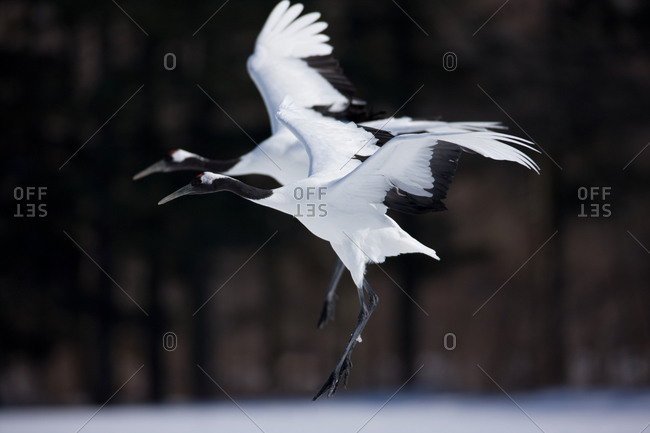 Two Japanese red-crowned cranes landing synchronously, in Hokkaido, Japan.