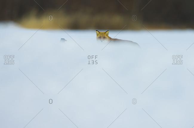 Hokkaido fox and a raven standing in snow in Akan National Park, island of Hokkaido, Japan.