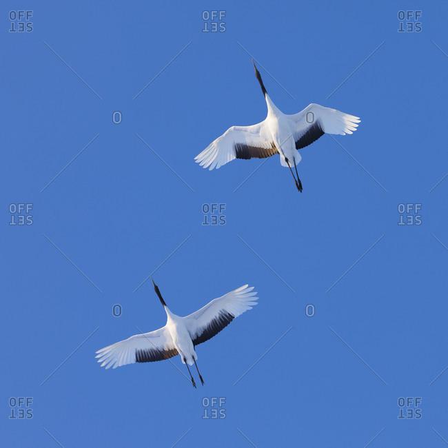 Red-crowned cranes flight from underside in Hokkaido, Japan.