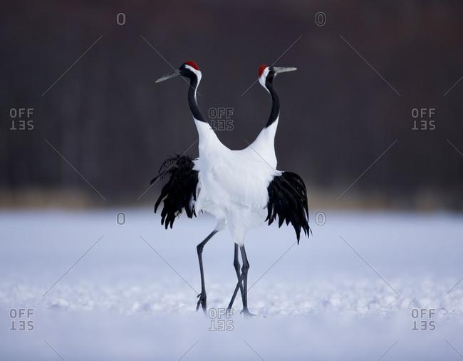 Red-crowned cranes mating ritual, in Akan National Park, Japan
