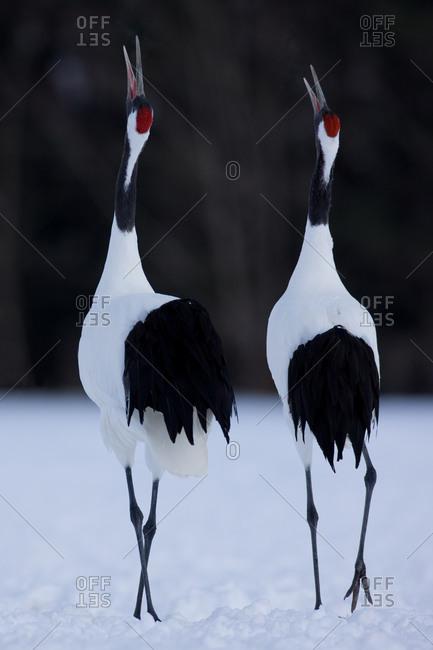 Red-crowned cranes calling, in Hokkaido, Japan