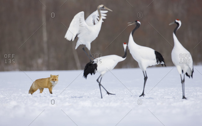 Hokkaido fox and a group of Japanese red-crowned cranes in Akan National Park, island of Hokkaido, Japan.