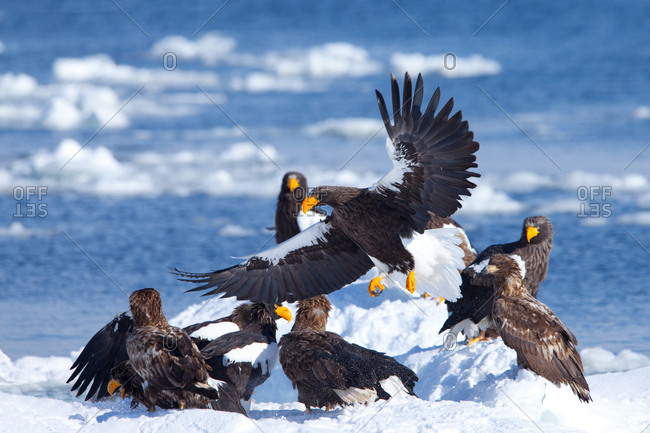 Group of steller's sea eagles fighting with one juvenile white-Tailed Eagle in island of Hokkaido, Japan.