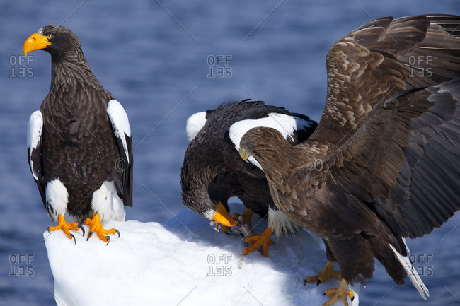 Two Steller's Sea Eagles with a white tailed eagle on Ice Floe in island of Hokkaido, Japan.