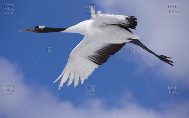 Japanese red-crowned crane flight in Akan National Park, island of Hokkaido, Japan.