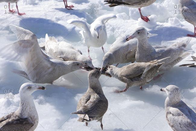 Gulls fighting in Nemuro Subprefecture, island of Hokkaido, Japan.