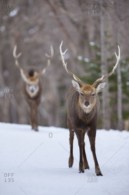 Two stags in island of Hokkaido, Japan.