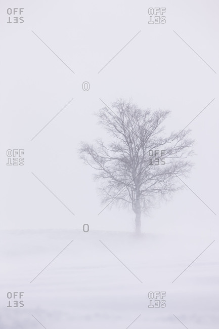 Lonely tree in a snow storm in Biei, Kamikawa Subprefecture, island of Hoakkaido, Japan.