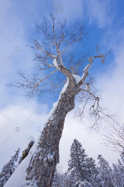 Low angle shot of a bare tree in Kamikawa Subprefecture, island of Hokkaido, Japan.