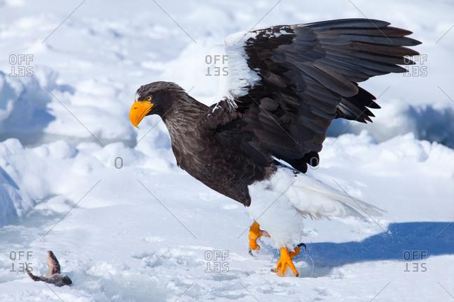 A Steller's sea eagle hunting a frozen fish in island of Hokkaido, Japan.