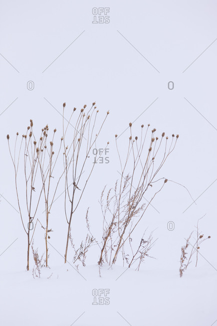 Winter seeds in Biei, Kamikawa Subprefecture, island of Hoakkaido, Japan.