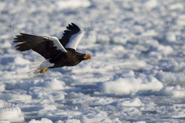Steller's Sea Eagle in Flight in Nemuro Subprefecture, island of Hokkaido, Japan.