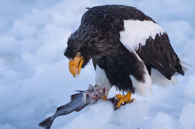 Steller's Sea Eagle Feeding in Nemuro Subprefecture, island of Hokkaido, Japan.
