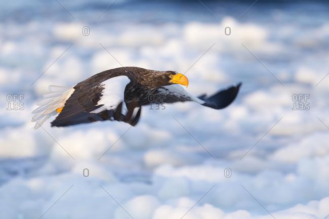 Steller's Sea Eagle in Flight in Nemuro Subprefecture island of Hokkaido, Japan.