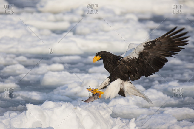Steller's Sea Eagle Fishing in Nemuro Subprefecture, island of Hokkaido, Japan.