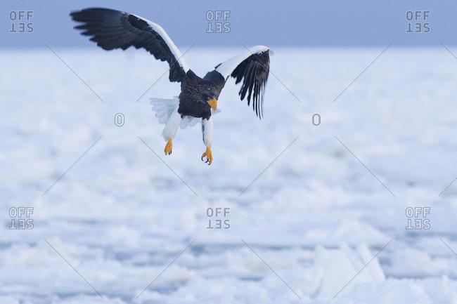 Steller's Sea Eagle in Flight at dawn in Nemuro Subprefecture, island of Hokkaido, Japan.