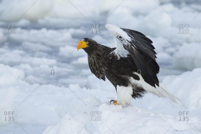 Steller's Sea Eagle Taking Flight in Nemuro Subprefecture, island of Hokkaido, Japan.