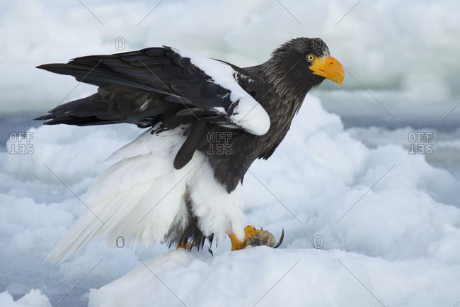 Steller's Sea Eagle Fishing in Nemuro Subprefecture, island of Hokkaido, Japan.
