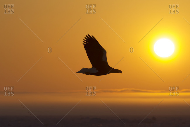 Steller's Sea Eagle in Flight at sunrise in Nemuro Subprefecture, island of Hokkaido, Japan.