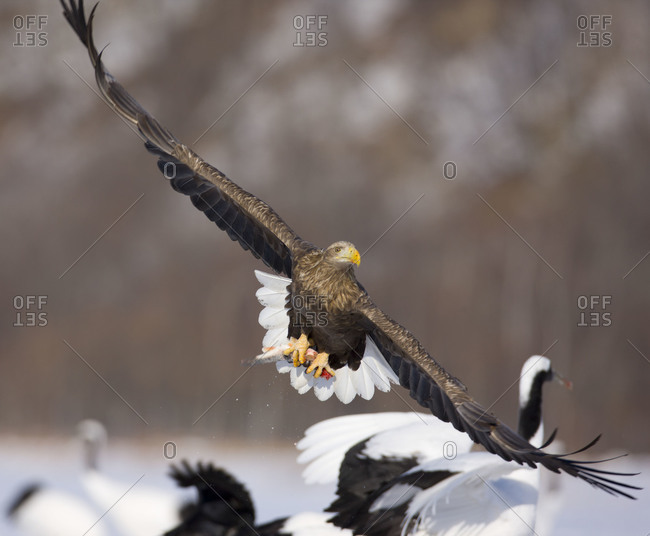 White Tailed Eagle flying with stolen fish in island of Hokkaido, Japan.