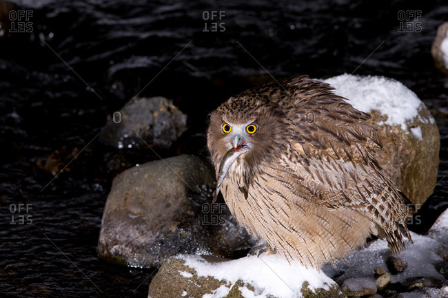 Blakiston's Fish Owl with fish in  Nemuro Subprefecture, island of Hokkaido, Japan.